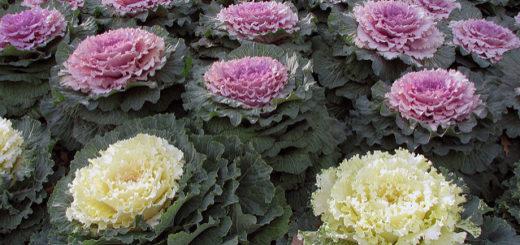 Kale, by terren in Virginia (CC) https://www.flickr.com/photos/8136496@N05/2215084299/in/photolist-4nJToB-dBPSQ2-76T3Vr-bziRtn-oRehK5-4V31Wo-4socRe-6c7XmD-64CMtR-4TYPzS-5he8LA-pq53Z9-94D5kj-7dgW6j-bwQS2z-4PjT9P-5s93dr-pw6fXC-HDbXAQ-pT8AQF-pEGujZ-bXmiHX-6P1z47-oTSSgx-7SsnUJ-gpYRPz-jwxxUw-5CiHgm-bnuBBq-7urdAp-6nSzXZ-a8koiz-pwgR6s-divNzL-bP3jQ-h87uJ-7yrB7-8MFDHF-bXfJM2-8YjgNR-5LfJqb-5KPDDb-hAJcDa-RV2NFh-pUy4t-4Fn8MJ-ao7Pbh-8YnjtJ-8YnjKw-9BiswQ/