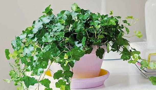 10 plantas para interiores instrucciones para for Cuales son las plantas para interiores